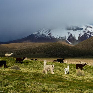 Grazing alpacas at the foot of volcano Sajama