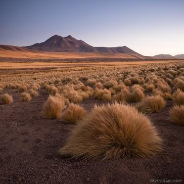 Paja grass tussocks