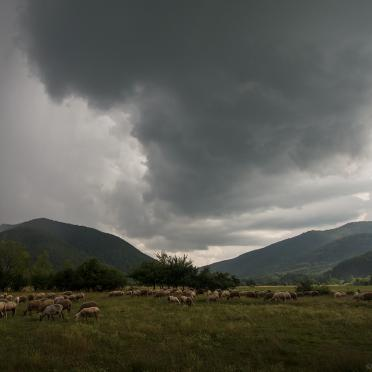 Sheep under the comming storm