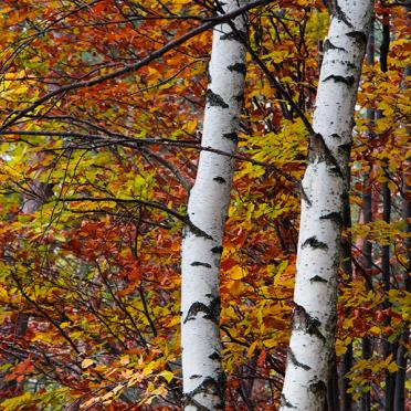 Birches in autumn color